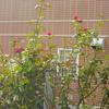 初秋の開花…3