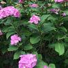 病気予防のため異なる品種を選んでキュウリ2苗追加植え付け