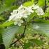 北高上緑地で「ハカリノメ」という、ちょっと変わった別名を持つ樹の花がピークを迎えています。その名の由来は!?