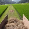 田圃の畦畔草