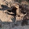 枯れた花柚子の根っこを掘り起こす