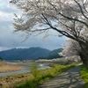 桜が咲き 草は緑で
