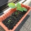 【家庭菜園1.5ヵ月目】暖かくなったら突然大きくなった件【葉っぱ6枚目】