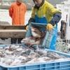 2018年4月16日 小浜漁港 お魚情報