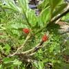 桑の実 桑の葉