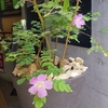 牧野植物園 生け花とタカネバラ