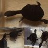 9.17 BO東京(浅草)出品生体 オーストラリアナガクビガメ