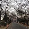 桜は2.5分咲き