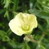 初夏の花6