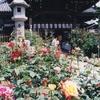 お房観音のバラ(5月中旬~6月中旬)