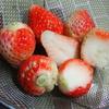 家庭菜園(3)イチゴ初摘み