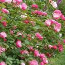 にしむらバラ園 Nishimura Rose Garden