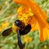 キバナコスモスのクマバチと