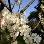 庭の桜が満開
