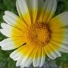 春菊の花いろいろ。