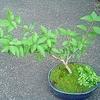 もったいないから挿しておけ。盆栽の挿し木記録