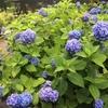 そして☔️の紫陽花は