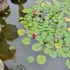 平安神宮の花菖蒲、雨の神苑で撮影!
