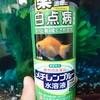 【お役立ち】ビックリ!金魚が急に病気に!金魚の水カビ病は治療で治る!