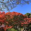 京都もようやく紅葉「善峯寺」