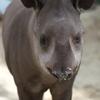 アメリカバク Tapirus terrestris