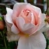 アンブリッジ・ローズの開花 AmbridgeRose