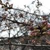 【お花見】代々木公園 開花状況 (2018/3/18) 〜準備万端