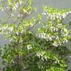 スズランみたい!白い花が可愛い「ドウダンツツジ」の春夏秋冬。#庭の低木