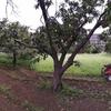 栗畑の草刈り