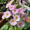 サクラソウの1種マラコイデスを購入.うまく育ったときには,それは見事に沢山の花をつけてくれます. マラコイデスは他種にも人気種が多いサクラソウ属で,学名プリムラ・マラコイデスの種小名が販売名に使われています.在来種のサクラソウはマラコイデスほど沢山花をつけませんが,江戸期,様々な園芸種が作られて,一大ブームを巻き起こしたことがよく知られています.