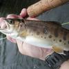 北海道 千歳川の釣り 20200905 / 水位14.29m 信頼のおけるフライ