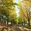 札幌まち歩き#1(北大キャンパスの銀杏並木&大野池&ポプラ並木)