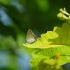ゼフィルス 追いかけ日記 4 - ジョウザンミドリシジミ -