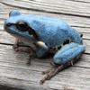 青いカエル出現!埼玉で続々発見される?今ツイッターで話題に