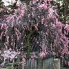 道明寺天満宮に梅の花見へ!梅の木の頭がみれました