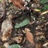 マルバテイショウソウ  長く細い茎の先の小さな花