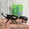 カブトムシ幼虫プレゼント