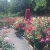 楽園か。【生田緑地のバラ園が見頃でとてもきれいです】