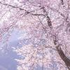 クマノザクラを撮影に和歌山県瀞峡までソロツーリング。クマノザクラって2018年に新種と判断された早咲きの山桜なのです。