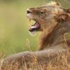 南アのクルーガー公園からライオン14頭が脱走
