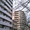 西門通りの「早咲きさくら」(3月17日)