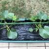庭の野菜達!