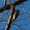 残堀川と根川緑道の小鳥たち~カワラヒワとか