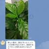 コーヒーノキ(コーヒーの木)- 2 -
