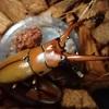 アスタコイデスノコギリクワガタ (原名亜種) ペアリング-産卵セット投入