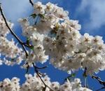 富士・河口湖さくら祭りと桜満開の御坂山塊・富士五湖巡り!
