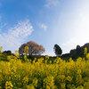 馬場の山桜へ | 武雄市&鹿島市へお花見小旅行へ vol.5