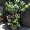 夏日,我が家の玄関先に並べた鉢植えも初夏の装い.その中で,来客の目を最も集めているのは,卯の花ウツギ(赤花).立夏のすぐ後の5月11日に開花.初夏の花です---.しかし5月を初夏とすると,8月は秋?私たちは,日常的には5月から8月まで4ヶ月間を夏と考えている?