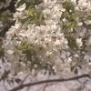 平成最後の花見。