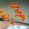 金魚 小赤 エサ用金魚 餌金 10匹 エサ 餌 D80【2点以上7000円以上ご購入で送料無料】